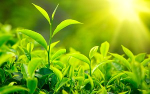 green tea radiation